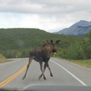 moose road